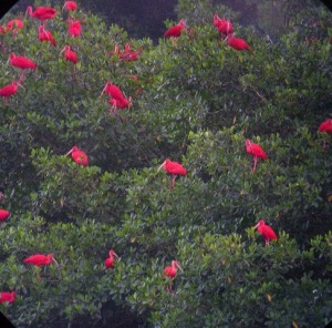 Scarlet Ibis Tree